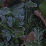 frostnupet002